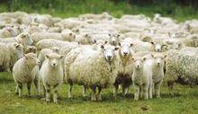 Un gregge di pecore (foto d'archivio).