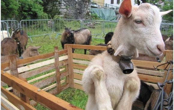 Festa della capra