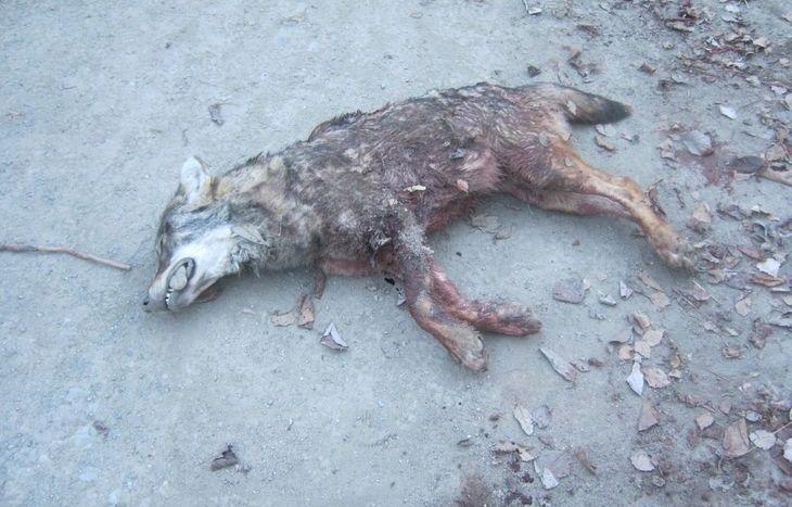Il lupo ucciso ritrovato dalla Forestale ad Introd.