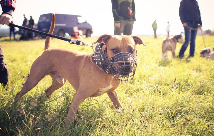Un pitbull (foto d'archivio)